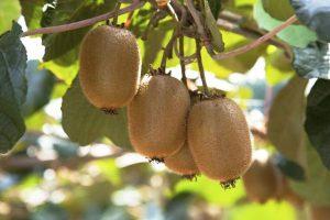 Jace_Group_kiwifruit