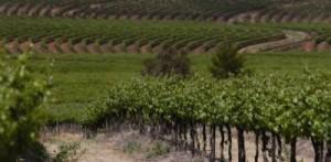 Taylors grapes