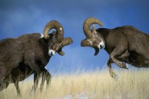 Rams lock horns in battle