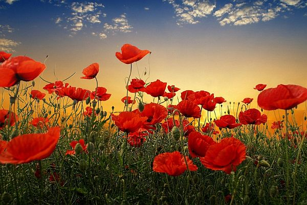 Anzac 2021's digital poppy