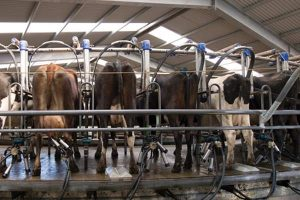 Milking cows with IoT