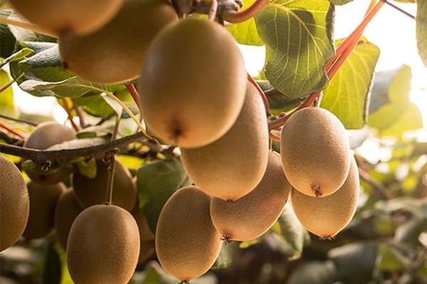 Deloitte, Zag, Sysdoc to take Zespri to new horizon